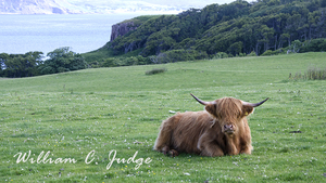 cattle, grazing, green, hairy, highland castle, highland cow, highland games, horns, kilt, mull, pas