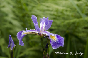 beauty, bloom, decor, flower, garden, horticulture, inverewe, iris, landscape, nature, plant, purple