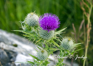 flower, highlands, national emblem, national flower, scotland, scottish, skye, thistle, william judg